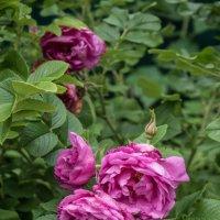 Шиповниковая роза. :: Алена Малыгина