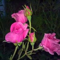 Розы вечером :: Митя Дмитрий Митя