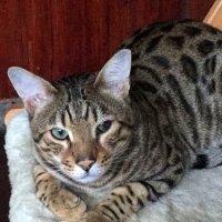 Бенгальский кот - Юлий . :: Мила Бовкун