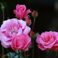 """Розы """"Розового павильона""""** :: Алексей Цветков"""