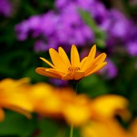 оранжево-лиловое летнее :: Александр Прокудин