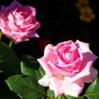 Розовый аромат... :: Тамара (st.tamara)