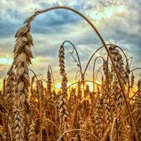Пшеница :: Сергей Форос