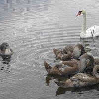 Лебединое семейство за утренним марафетом :: Маргарита Батырева