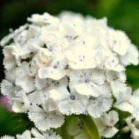 Белые цветы :: Роман Кудрин