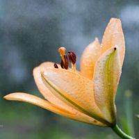 Макро лилии в каплях дождя :: Александр Синдерёв