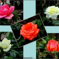 Розы разные, розы страстные :: Нина Бутко