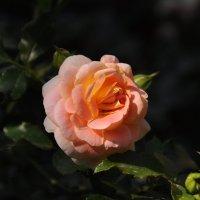 Роза. :: Ирина Лебедева