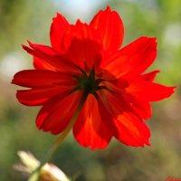 Про аленький цветочек.. :: Андрей Заломленков