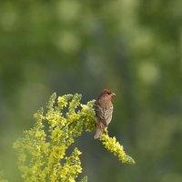 Красный воробей или чечевица :: Марина Грушина