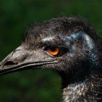 Самая большая нелетающая птица :: Ирина Шурлапова