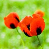 Эстафетацвета. Красный понедельник - маки :: Наталья (ShadeNataly) Мельник