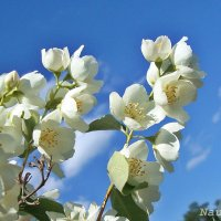 Жасмин цветет :: Лидия (naum.lidiya)