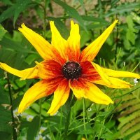 Рудбекия - солнечный цветок :: Маргарита Батырева