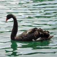 Посреди прозрачных вод лебедь черная плывет :: Валентин Когун