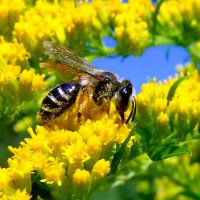 Пчелка и золотая розга! :: Наталья