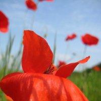 Красный Мак на ветру :: spm62 Baiakhcheva Svetlana