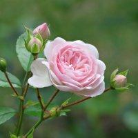 Розовая роза :: Клара Леоненко