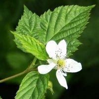 Цветок малины лесной :: Татьяна Шестакович