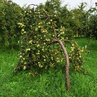 Склонилась под тяжестью яблонька! :: Татьяна Помогалова