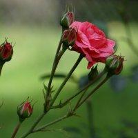Просто розы. :: Алексей Цветков