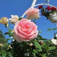 Роза :: Яна Чепик