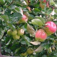 19 августа - яблочный спас :: elena manas