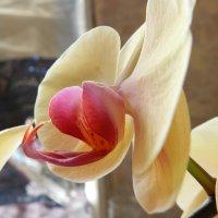 Орхидея :: Елена