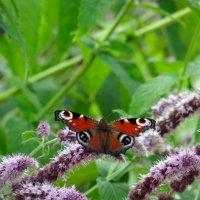 Бабочка павлиний глаз на мяте.***** :: Алексей Цветков