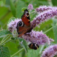 Бабочка павлиний глаз на мяте.** :: Алексей Цветков