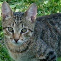 взгляд кошки :: elena manas