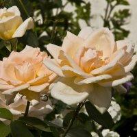 Нежные розы. :: Андрей Синицын