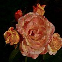 Роза :: Анастасия Смирнова