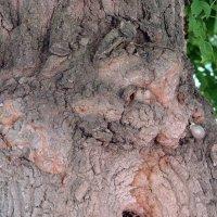Кора дерева :: Вера Щукина