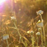 Солнце заката в ромашках :: spm62 Baiakhcheva Svetlana