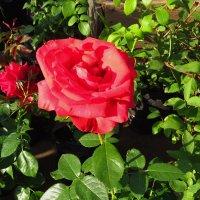 Розы не всегда розовые :: Андрей Лукьянов