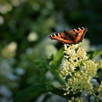 Бабочка :: Даниал Бурнашев