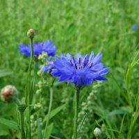 Как синие небо, цветки – васильки... :: Galina Dzubina