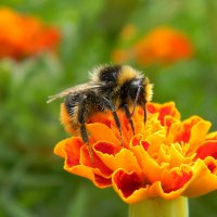 Аки пчела... :: *MIRA* **