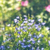 Лобелия голубая :: Tatiana A.M