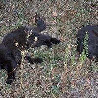 Чёрные коты :: Галина Дашевская