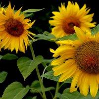 садовые солнышки :: Александр Прокудин