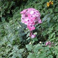 Розовый флокс :: Дмитрий Никитин