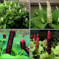 Лаконос - цветы и плоды :: Нина Бутко