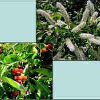 Черёмуха виргинская - цветы и плоды :: Нина Бутко