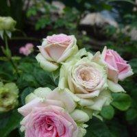 Под дождем розы :: Елена Кадиева