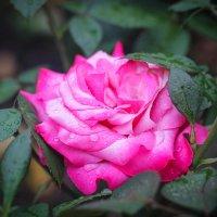 Красивая роза :: Кристина Куликова