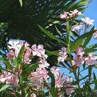 Там, где цветёт олеандр :: Татьяна Смоляниченко