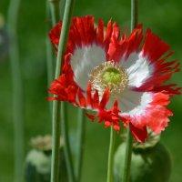 Маки это те цветы, в  которых нежность и пламя любви... :: Ольга Русанова (olg-rusanowa2010)