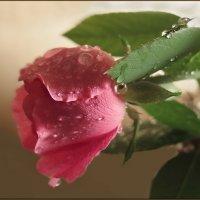 И каждый раз, при виде нежных роз душа не устает им поражаться. :: Людмила Богданова (Скачко)